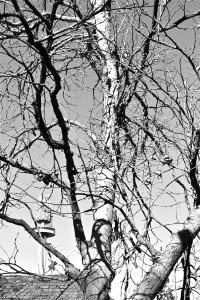 Knotts Tree